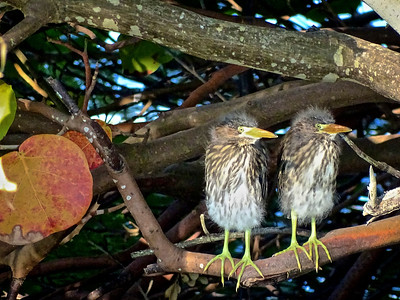 11_30_19 Young Green Herons Venture From The Nest
