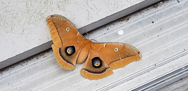 11_26_19 Very Pretty Polyhemus Moth
