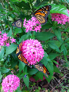 11_29_19 Monarchs Released That I Raised