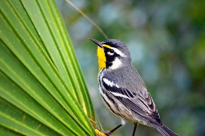9_4_19 Yellow-Throated Warbler