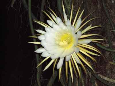 9_10_19 Night Blooming Cereus