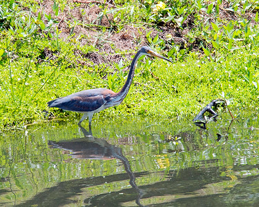 9_6_19 A Wading Tricolored Heron