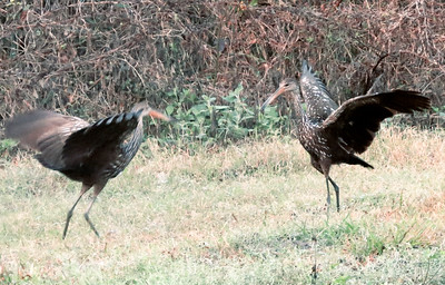 9_19_19 Limpkin Mating Dance