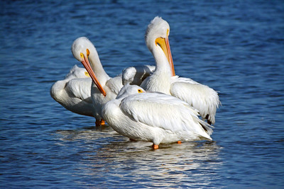 9_9_19 White Pelicans Resting on a Sandbar