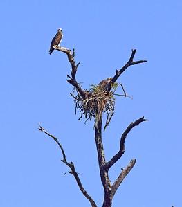 9_12_19 Osprey Nest
