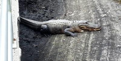 9_28_19 - 7 Foot Gator