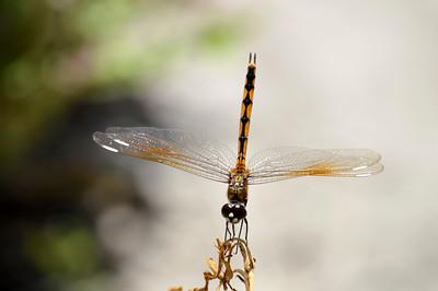 Dragon Fly At Perico Preserve