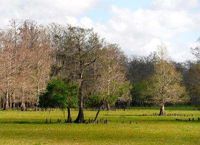 Bald Cypress in flood plain