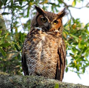 Female Owl