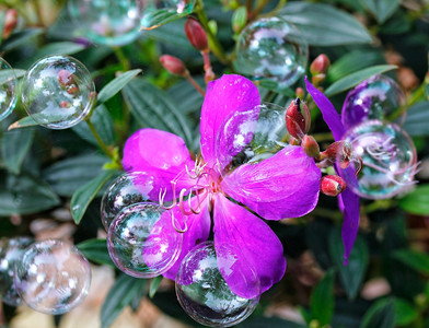 4_9_20 Tibochina with bubbles