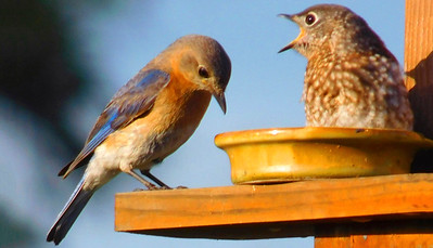 4_16_20 Mother Bluebird feeds baby