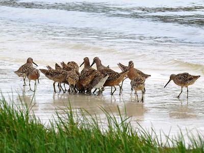 4_2_20 Feeding Frenzy, Short-billed Dowitchers, breeding plumage
