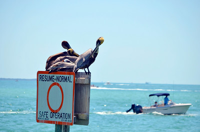 4_18_20 Pelicans not practicing social distancing
