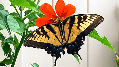 4_1_20 Eastern Tiger Swallowtail Butterfly
