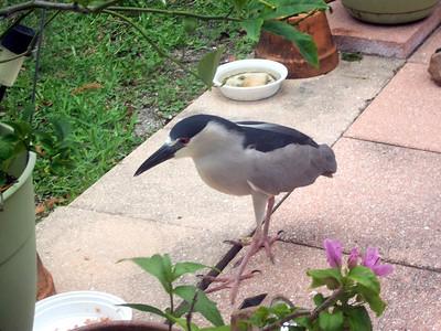 4_24_20 Black Crowned Night Heron