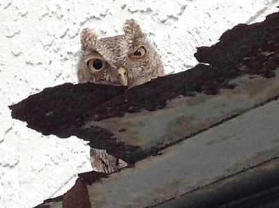 4_22_20 Screech owl peering through rusty shelf