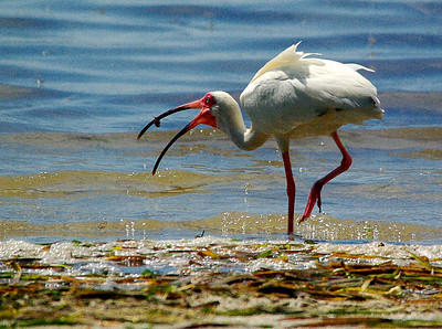2_28_20 Crab or Ibis, who got who?