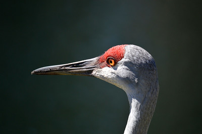 2_5_20 Sandhill Crane
