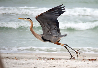 2_13_20 Heron Takes Flight