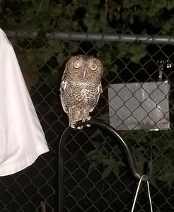 2_22_20 Screech Owl In Backyard Every Night