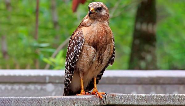 1_31_20 Red Shoulder Hawk