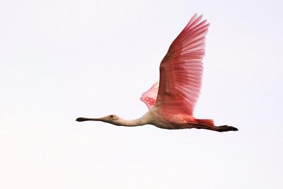 1_21_20 Roseate Spoonbill in flight