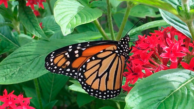 1_13_20 Monarch Butterfly on Pentas