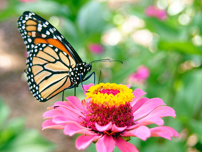 3_29_20 Monarch Nectaring On Zinnia