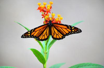3_26_20 Monarch in my garden