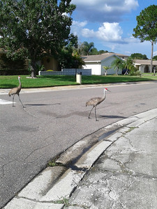 3_31_20 Sand Hill Cranes crossing the street