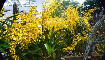 5_23_20 Yellow Dancer Orchid (Oncidium spacelatum) In Full Bloom
