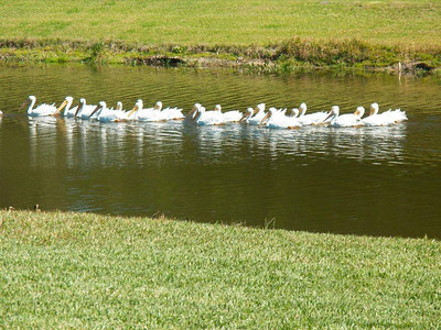 5_25_20 Flock of White Pelicans migrating