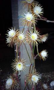 5_15_20 Night Blooming Cereus