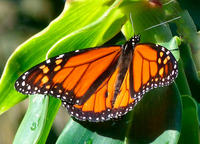 5_20_20 Monarch Butterfly