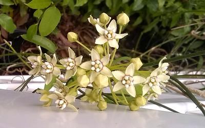 5_27_20 Hammock Park Butterfly Garden, White Twinevine Bloom
