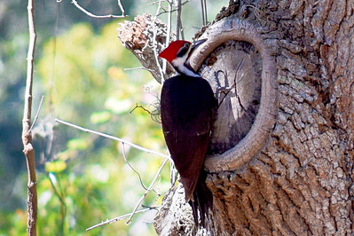 5_28_20 Pileated Lady