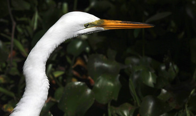 6_6_18 Great Egret Profile