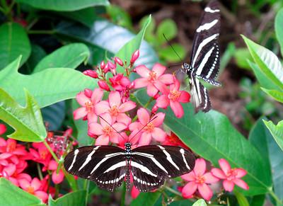 6_4_18 Zebra Longwings