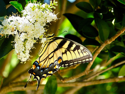 6_18_18 Eastern Tiger Swallowtail on Ligustrum Bloom