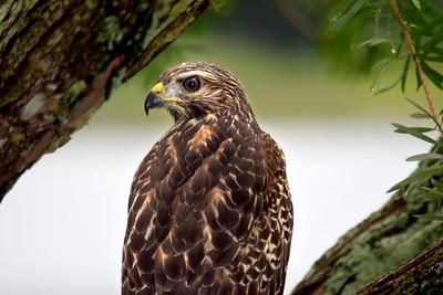 8_27_18 Red shoulder hawk