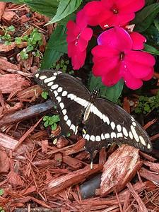 8_15_18 Swallowtail Drying It's Wings