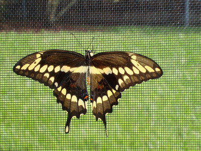 8_20_18 Beautiful Exotic Butterfly