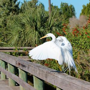 8_13_18 Egret at Jenkins Creek