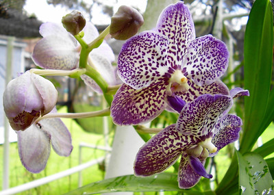 8_3_18 Orchid in Bloom