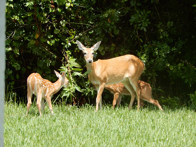 8_26_18 Mother deer and two fawns having lunch
