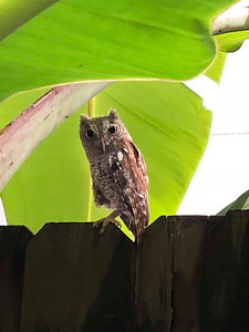 8_9_18 Screech Owl in Afternoon