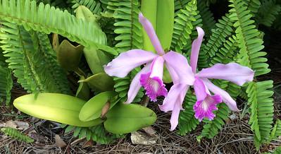 8_29_18 Backyard Orchids