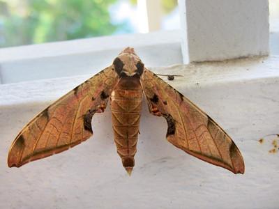 12_21_18 Sphinx Moth