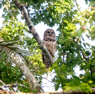 12_26_18 Barred Owl in Dunedin