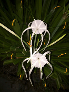 12_13_18 Spider Lily at dawn